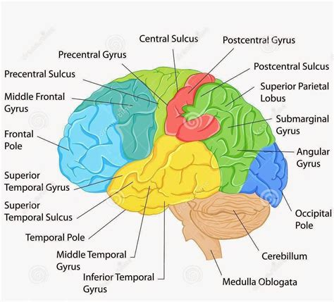 Label Brain Diagram by Labeled Pictures Of The Brain Labeled Pictures Of The