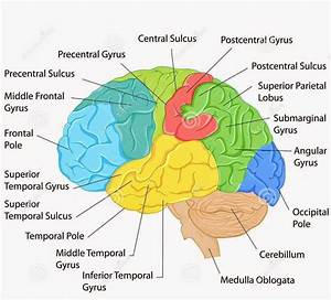 Labeled Pictures Of The Brain   Labeled Pictures Of The