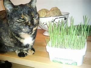 Graine Herbe A Chat : l 39 herbe chat que mon chat n 39 aime pas forum comprendre son chat europ en wamiz ~ Melissatoandfro.com Idées de Décoration