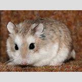 Robo Dwarf Hamster Cages | 600 x 450 jpeg 45kB