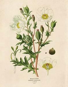 Vintage Flower Botanical Print  Mexican Poppy Educational