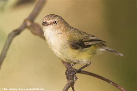 birds in backyards bird finder weebill birds in backyards