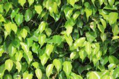 Ficus Benjamini Verliert Alle Blätter : ficus benjamini die sch nsten arten der birkenfeige ~ Lizthompson.info Haus und Dekorationen
