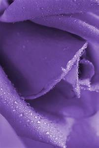 Purple Rose This the most beautiful Lavender Rose I have ...