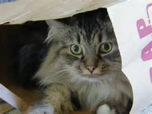 fiv cats feline immmunodeficiency fiv meow cat rescue