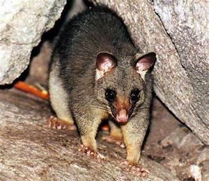 Marsupials of Australia