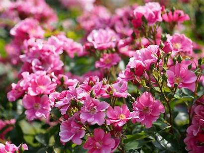 Rose Bush Flower Buds Blossoms Cherry バラ