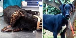 Dog Being Eaten Alive By Thousands Of Ticks Recovers Is