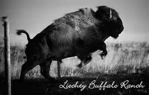 North American Bison Buffalo