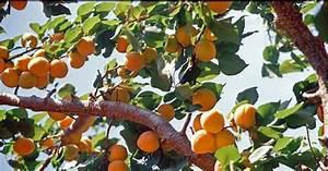 Wann Wird Lavendel Geschnitten : wildfind wildfind marille ~ Lizthompson.info Haus und Dekorationen