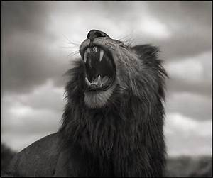 Nick Brandt Lion Roar Maasai Mara Photograph At 1stdibs