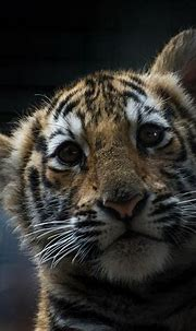Bengal Tiger Cub | Sandra Wildeman | Flickr