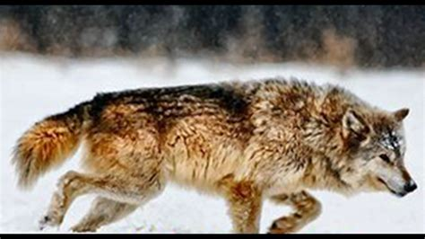 Gray Wolf Returned To Endangered List In Iowa And Illinois