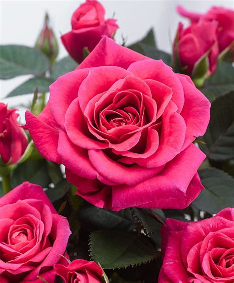 Buy house plants now Potted Rose Parade® 'Kerri?   Bakker.com