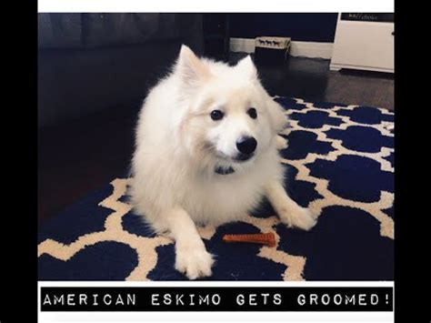 American Eskimo Shedding by American Eskimo Gets Groomed Veda Day 2