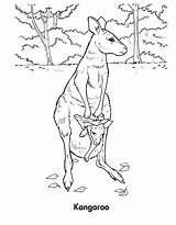 Kangaroo Coloring Pages Habitat Printable Wallaby Template Children Animal Sketch sketch template