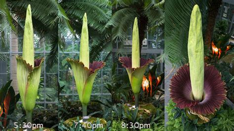 Corpse Flower Botanic Gardens by Quot Corpse Flower Quot Blooming At U S Botanic Garden Cbs News
