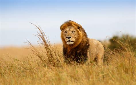 imagenes  fotos de leones en hd