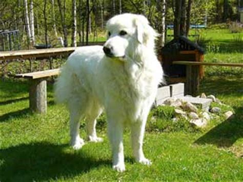 great pyrenees information and facts dog breeds