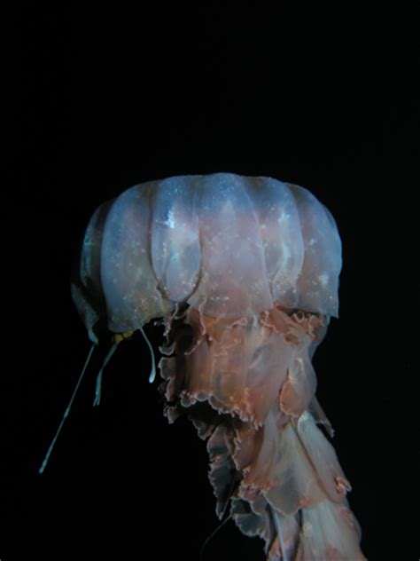october  antarctic jellyfish polartrec