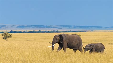 savanna african animals habitats elephant savannas grassland biome africa plants grasslands savannah animal plain biomes calf plains natural zoo open