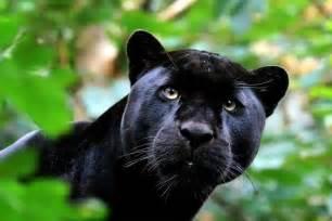 black panther cat kissh missh black panther