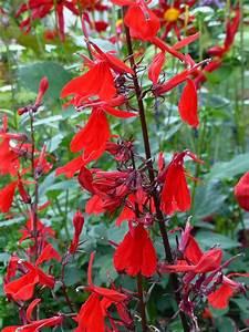 Rote Stauden Winterhart : saatgut samen hohe rote lobelie lobelia fulgens 39 queen ~ Michelbontemps.com Haus und Dekorationen