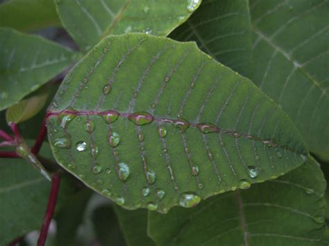 hoja de nochebuena plant nature  junishiros