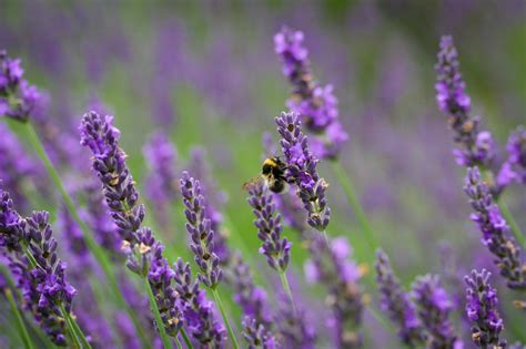 lavender and mosquitoes plants that repel mosquitos popsugar home australia