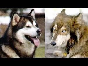 Alaskan Malamute vs Wolf Dog Hybrid - YouTube