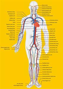 32 Veins Of The Body Diagram