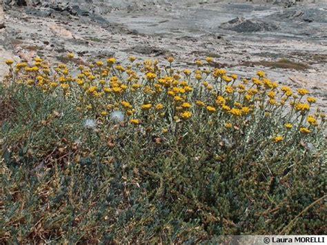 immortelle d italie cuisine immortelle d 39 italie plante curry helichrysum italicum