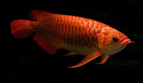 Red Fish Wallpaper