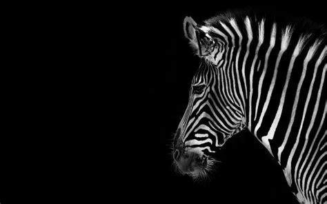 black background zebra wild animal images