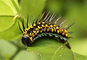 Caterpillars Are Rubbish  Or Are They Awesome