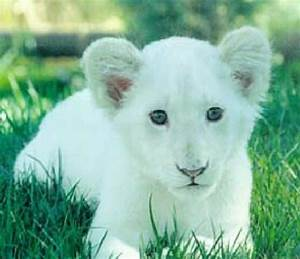 White Lioness With Blue Eyes Has blue eyes that almost ...