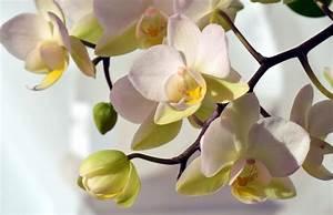 Rempoter Une Orchidee : orchid e phalaenopsis conseils entretien rempotage et ~ Mglfilm.com Idées de Décoration
