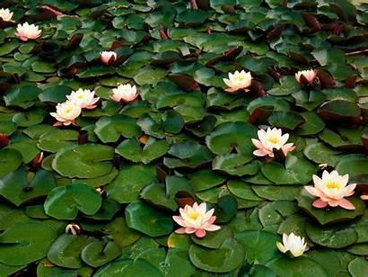 Water Flowers Lilies Desktop Beings Ornamental Nature