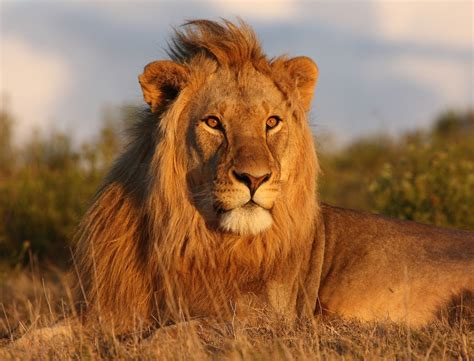 lion interesting facts  king  jungle