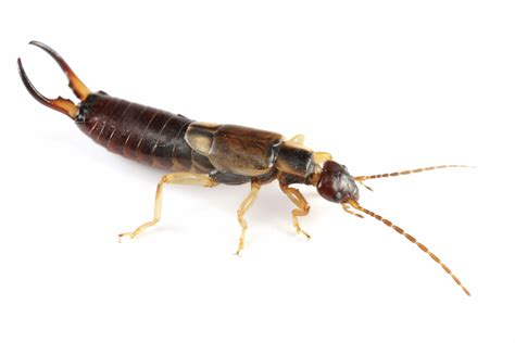 Images Of Earwigs E Is For Earwig