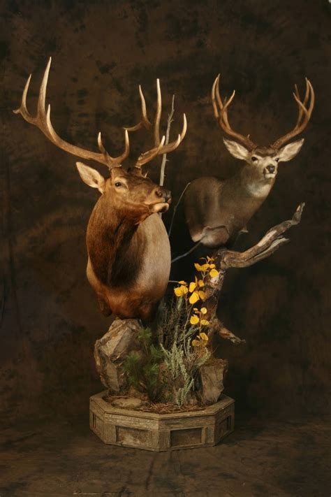 taxidermy  josh hunt elk