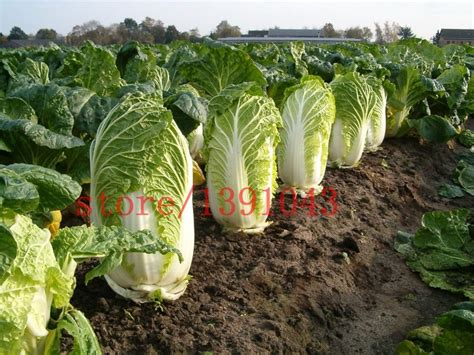 healthy asian garden 500 cabbage seeds green vegetable seeds for