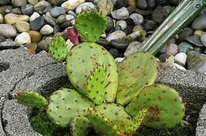 Mimosa Résistant Au Froid : craquez pour le cactus ch telaine ~ Melissatoandfro.com Idées de Décoration