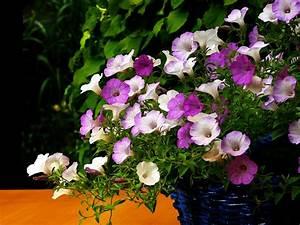 Blumen Für Den Balkon : pflanzen und blumen f r balkon und terrasse ~ Lizthompson.info Haus und Dekorationen
