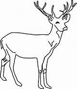 Deer Coloring Whitetail Animals Clip sketch template
