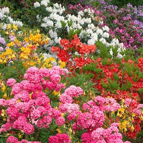 3 x mixed rhododendrons bushy shrubs colourful potted garden plants in pot ebay