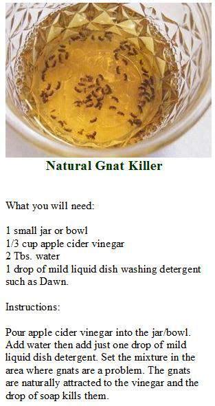 NATURAL GNAT KILLER Apple cider vinegar   water   dish