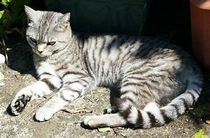 British Shorthair Silver Tabby | Norwich, Norfolk | Pets4Homes