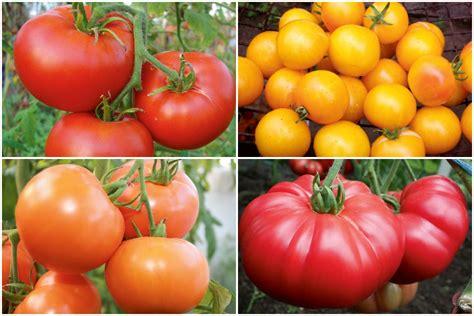 10 populārākās tomātu šķirnes. Iesaka Elga Bražūne ...