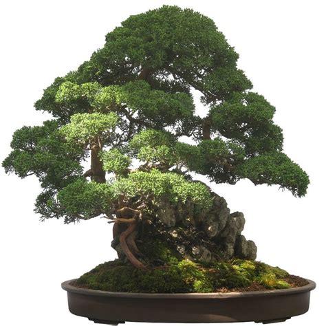 baum für innenbereich hohe schnittkunst bonsai kleiner baum ganz gro 223 baumpflegeportal